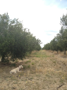 Surveying the olive grove