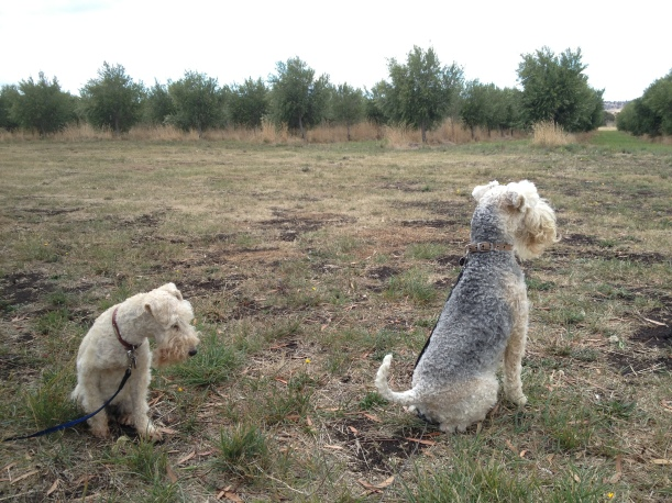 Blizzard and Gunner in the olive grove.