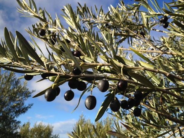 Manzanillo olives