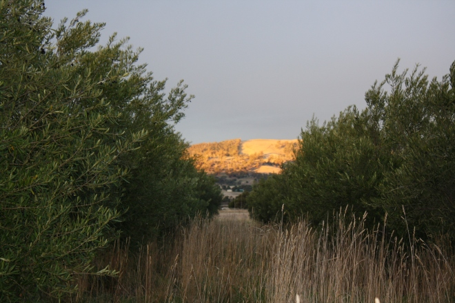The last sun of the day hitting the hills beyond the olive grove.