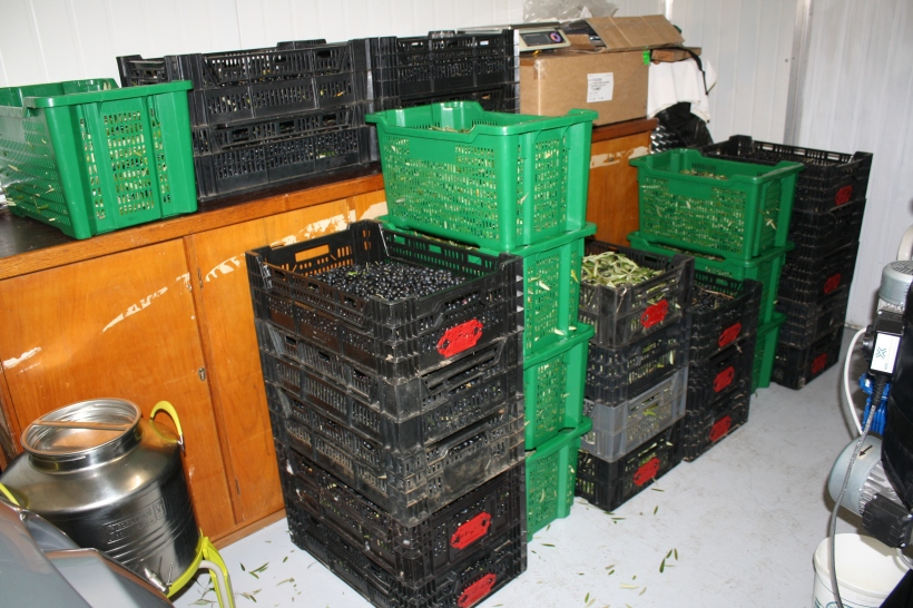 Picual olives waiting to go into the press.
