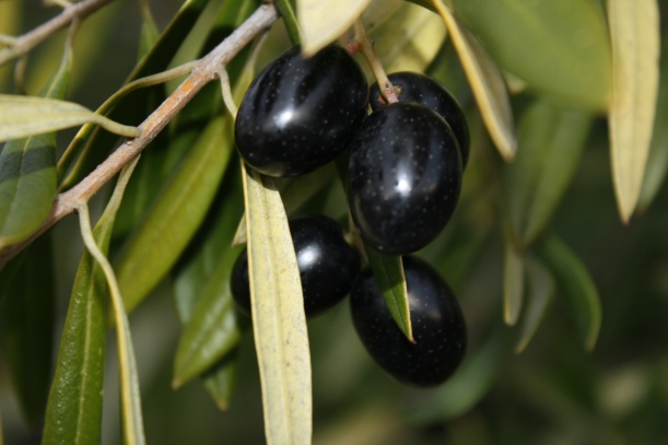 Picual olives, just about to be picked!