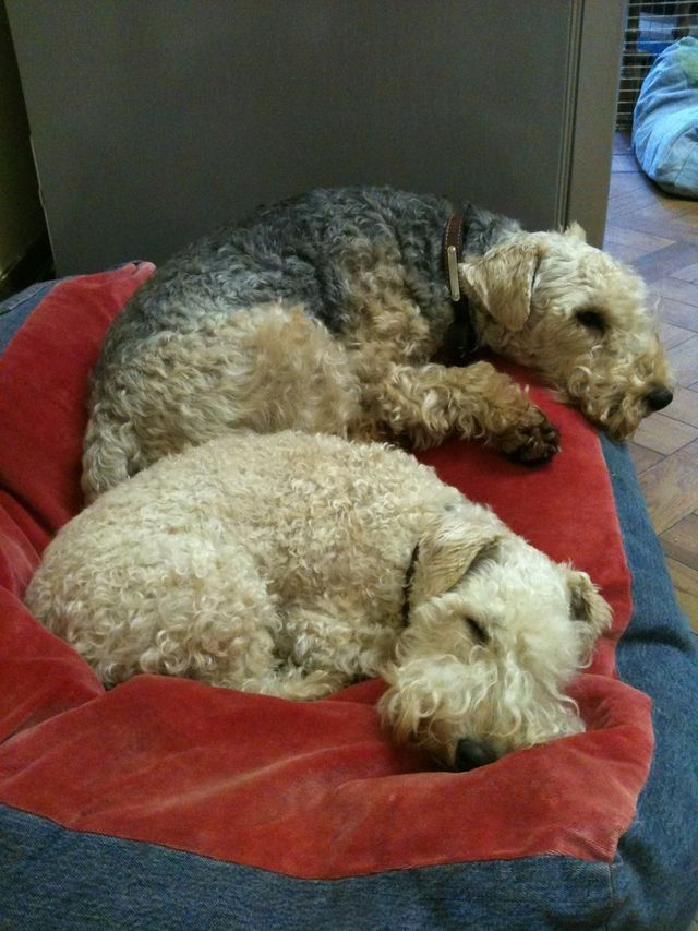 lakeland terrier beanbag