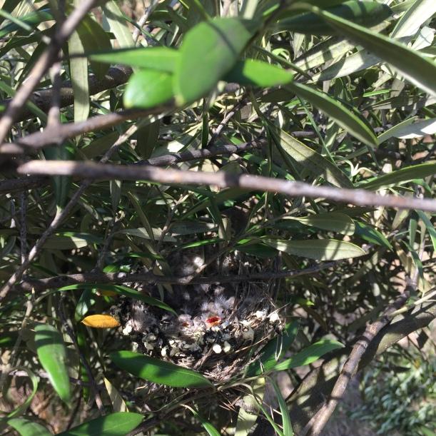 olive tree pruned bird nest chicks
