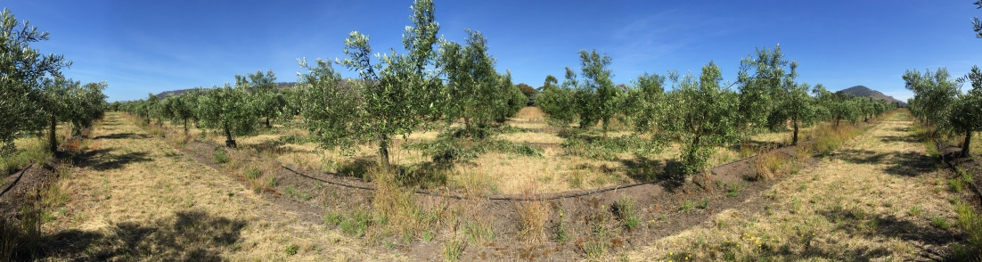 panoramic olive grove
