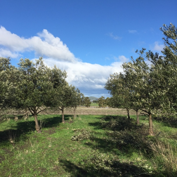 pruning freshfield grove olive