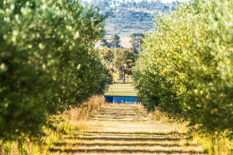 Adam grove photo adoptanolivetree olive grove adopt tree.jpeg