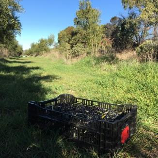 freshfield grove olive harvest 2017 picking